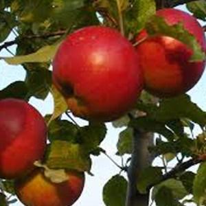 Roter Berlepsch - Apfelbaum – Alte Obstsorten Arboterra GmbH