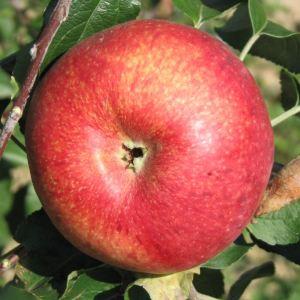 Ruhm aus Kirchwerder - Apfelbaum – Alte Obstsorten Arboterra GmbH