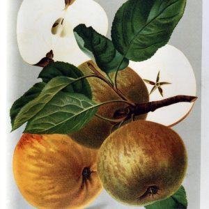 Schoener von Boskoop - Apfelbaum – Alte Obstsorten Arboterra GmbH