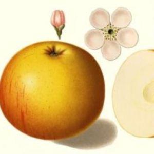 Weidners Goldrenette - Apfelbaum – Alte Obstsorten Arboterra GmbH