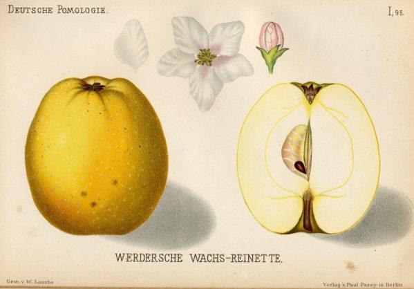 Werdersche Wachsrenette - Apfelbaum – Alte Obstsorten Arboterra GmbH