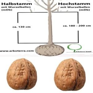 Walnussbaum (mit Wurzelballen / mDb)