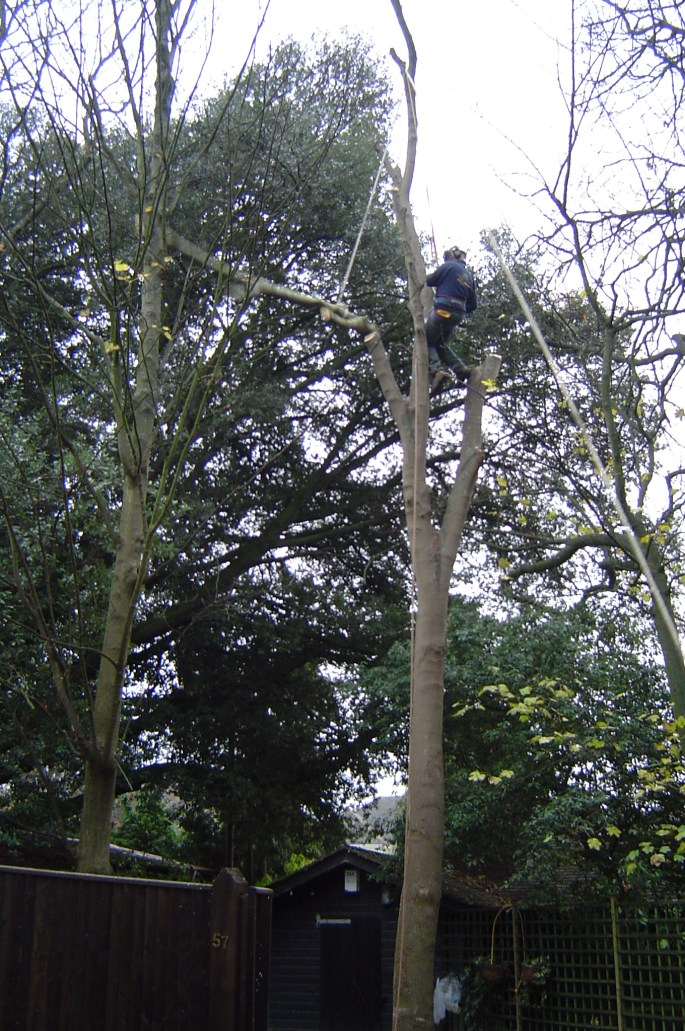 Professional tree surgeon takes down a sycamore in Worthing, West Sussex : Working at height is very dangerous and should only be carried out by a skilled tree surgeon.