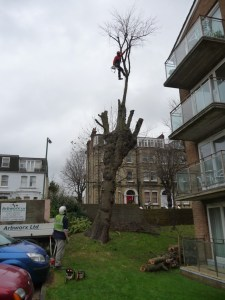 Elm tree being dismantled as dangerous in Hove