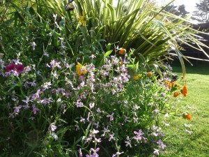 Soft planting scheme for a family garden using night scented stock and English garden mix