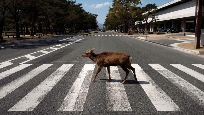 Un ciervo cruzando la calle en Japón