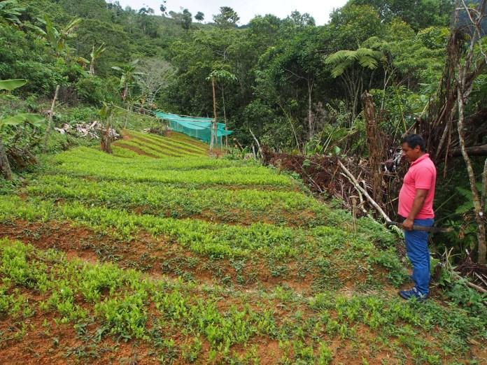 Coca leaf crash: Coronavirus collapses price of cocaine ingredient ...