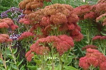 Sedum 'Autumn Joy' in flower