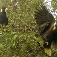 Yellow tailed black cockatoos