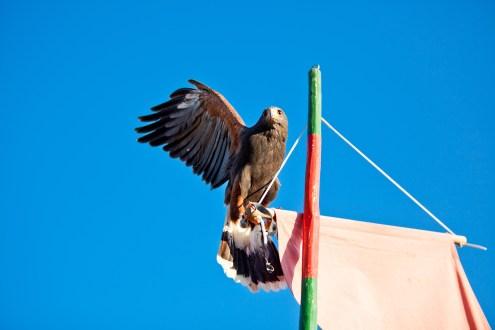 Adler streckt Flügel