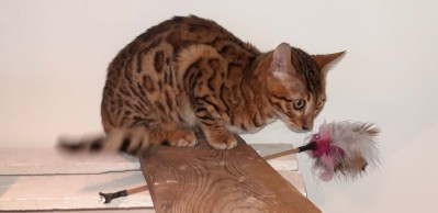 Oups chaton bengal loof