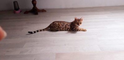 osiris-bengal-cat