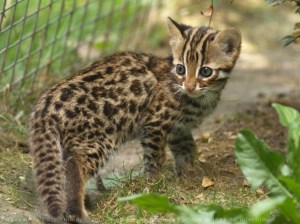 chaton sauvage du bengal