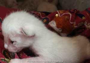 bengal chaton