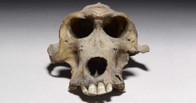 Un crâne de babouin, témoin des expéditions égyptiennes vers le mystérieux pays de Pount
