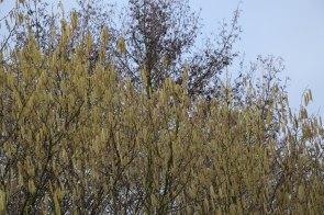 hazelaar in bloei, in groot contrast met de els erachter