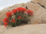 The newest spring blooms are the neon-orange-red Paintbrush.