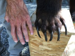 One way to tell a grizzly from a black bear is its claws, 2-4 inches long. (Half that for a black bear.) Honestly, I hope never to see one that close.