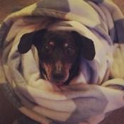 Sophie Beck's miniature dachshund, Zoey Bella