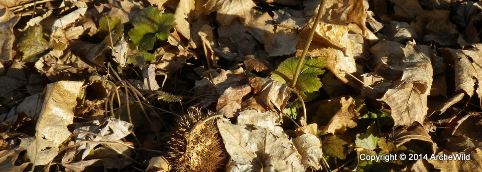 2014 ArcheWild – Tiarella Cordifolia Peaking Through Leaves