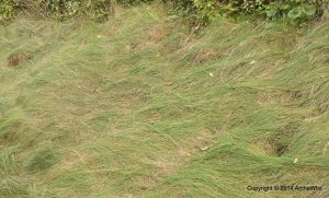 Species Spotlight – Carex Appalachica