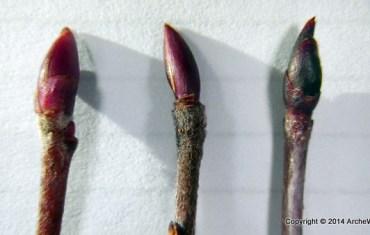 ArcheWIld - Photinia red purple black