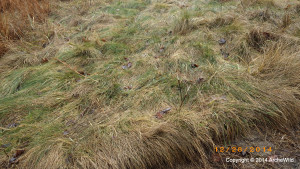 ArcheWild - Carex appalachica - EcoRegion 070c - in sun
