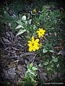 ArcheWild - Coreopsis major - 7-17-2012 10-41-34 AM 2448x3264