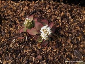 2015 ArcheWild - Saxifraga virginiensis - open flower - EcoRegion 064a