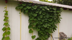2015 ArcheWild - Aristolochia macrophylla - Hanging technique
