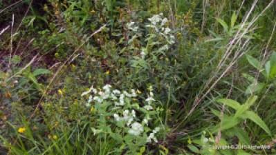 2015 ArcheWild - Pycnanthemum muticum 064a