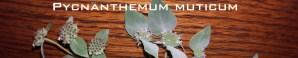 Species Spotlight – Pycnanthemum Muticum (clustered Mountainmint)