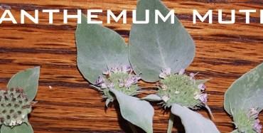 2015 ArcheWild - Pycnanthemum muticum - comparison