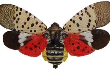 Spotted lanternfly Dorsal