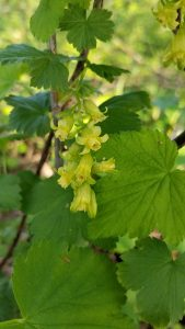 Species Spotlight – Ribes Americanum
