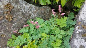 Species Spotlight – Dicentra Eximia
