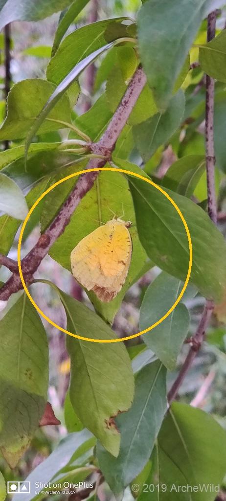 ArcheWild – Eurema Nicippe Sleepy Orange Butterfly 42