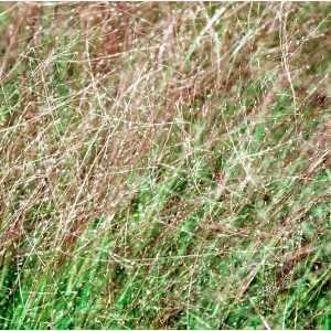 eragrostis spectabilis plant