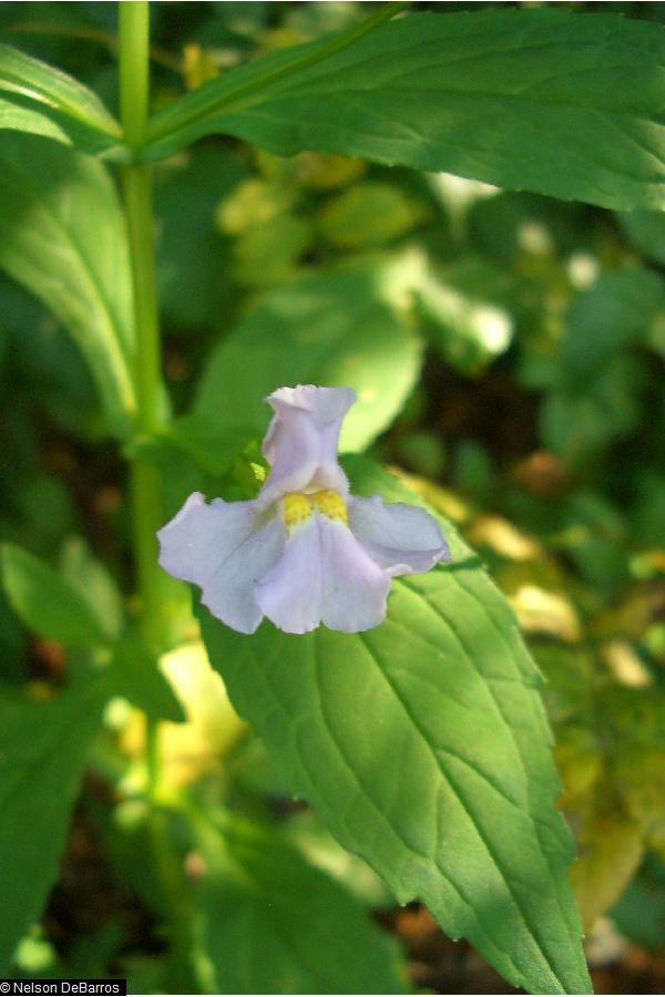 mimulus rigens plant