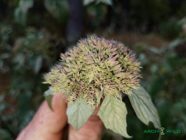 pycnanthemum incanum plant