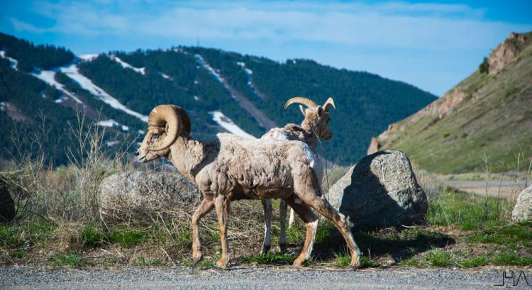bighorn-sheep-couple