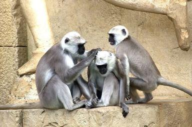 grüne meerkatze affe meerkatze affen-familie monkey