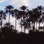 Palm Trees at Sunset in Bandar Abbas