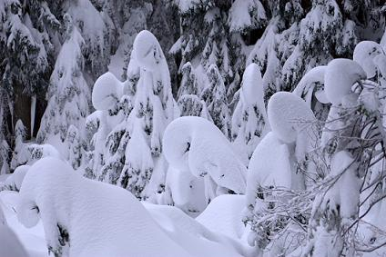 trees filled with snow