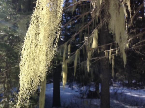 Lichen decorates the trees along the snowshoe/ski trails.