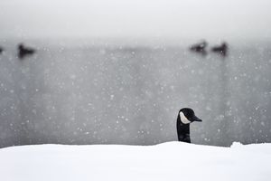 A duck pokes his head up from out of the snow at Fulton Park in Waterbury Friday. Erin Covey Republican-American.
