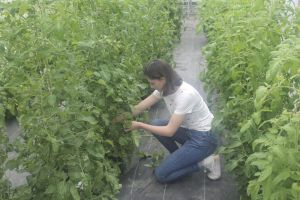 02 - Sarah Sandor, a junior at Nonnewaug High, tends to some of the tomato plants in the greenhouse.