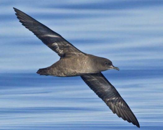 A sooty shearwater (Audubon.org)