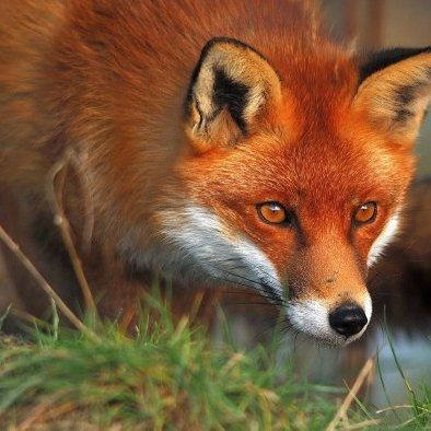 ContributedRabies is more common in raccoons and skunks than foxes, but a fox that bit two people in Torrington on July 21 has tested positive for the rabies virus.