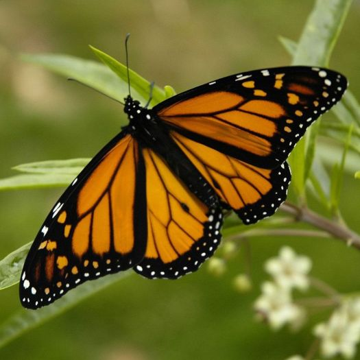 A monarch butterfly (contributed)